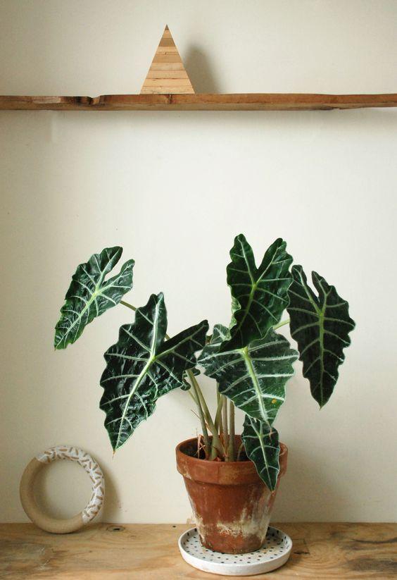 Alocasia - Plantes