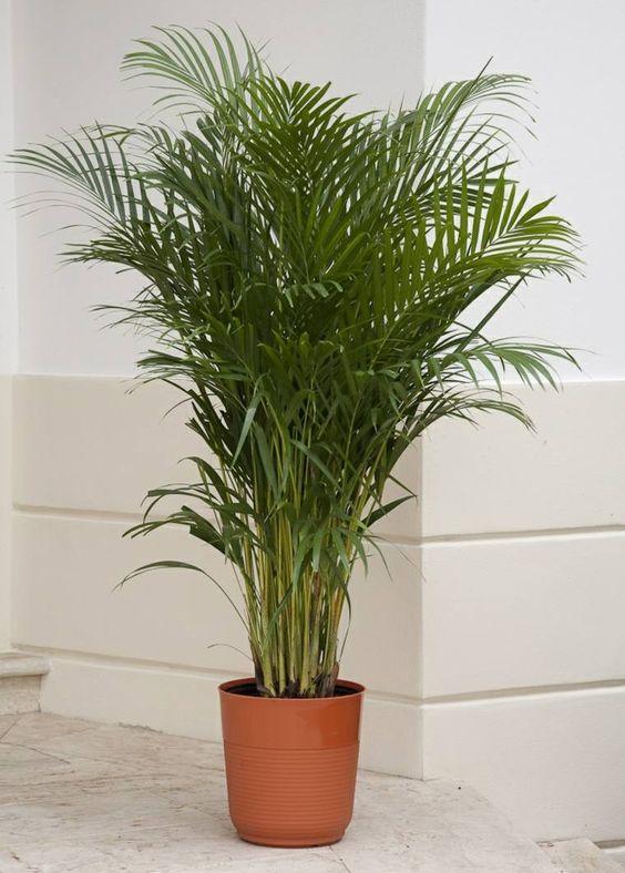 Areca - Plantes