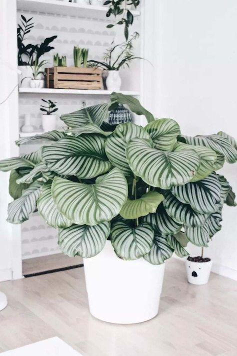 Calathea - Plantes